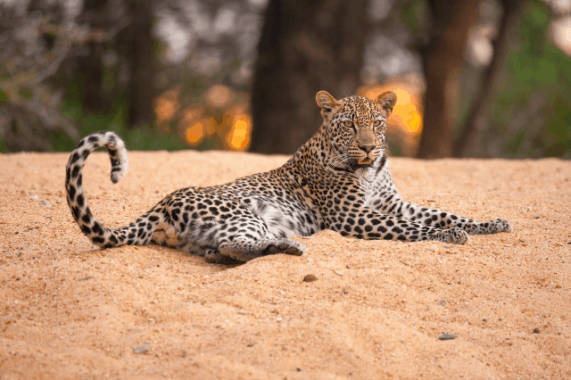 Leopard Sighting On A Two-Day Safari At Kruger National Park