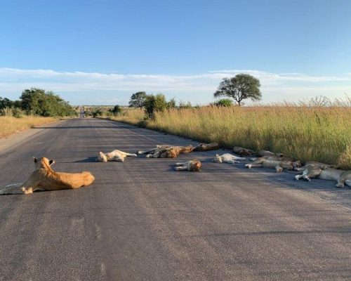 Lion chilling in the sun in a quiet Kruger National Park during the national lockdown