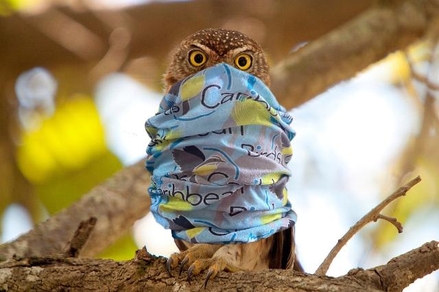 Owl Taking Coronavirus Seriously